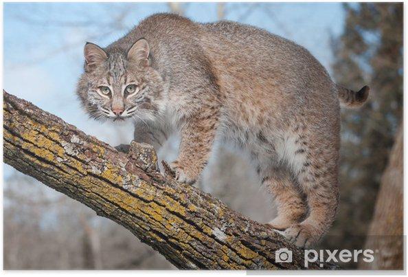 Plakat Bobcat (Lynx rufus) gapił się na widza z gałęzi drzewa - Pory roku