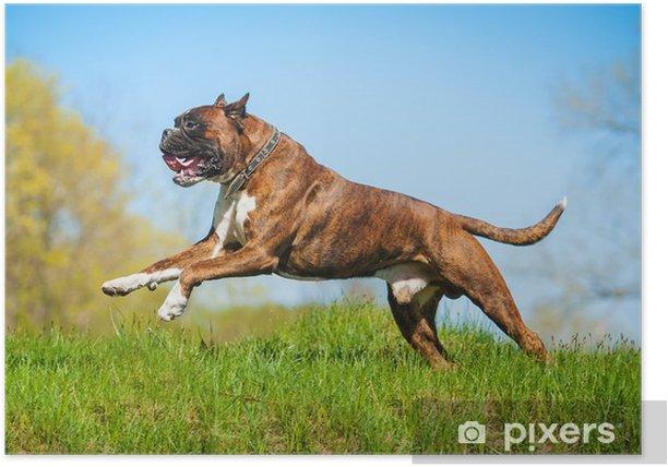 Plakat Bokser pies prowadzenie szczęśliwy - Ssaki