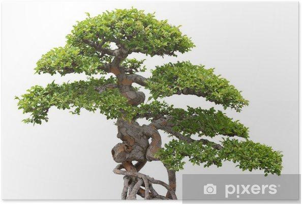Plakat Bonsai, wiąz zielony na białym tle - Dom i ogród