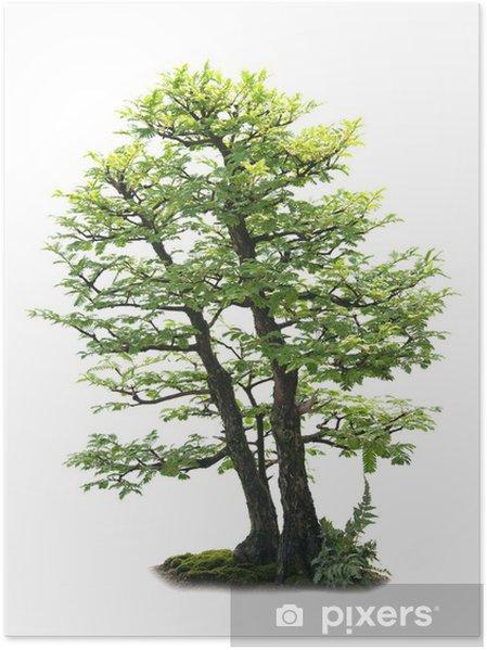 Plakat Bonzai Drzewo samodzielnie na białym - Dom i ogród