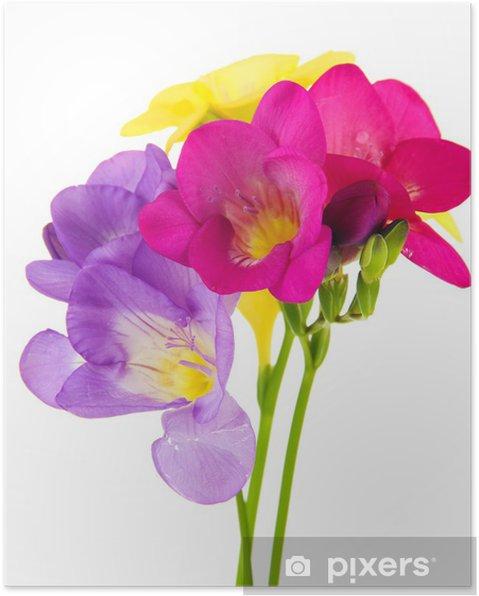 Plakat Bouquet of freesias kwiat, samodzielnie na białym tle - Kwiaty