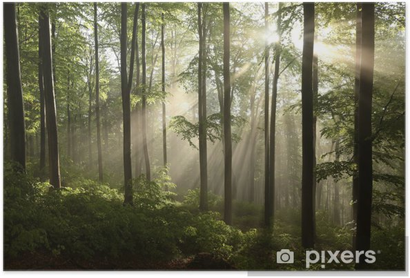 Plakat Buczyna wiosna po kilku dniach deszczu w mglisty poranek - Tematy