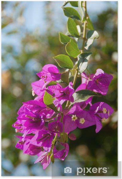 Plakat Buganvilla mieszkań alaro Majorka Baleary - Kwiaty