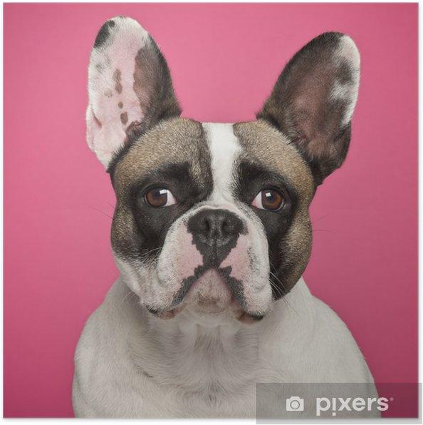 Plakat Buldog francuski, 2 lat, na różowym tle - Buldogi francuskie