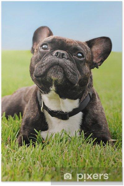 Plakat Buldog francuski niosek na trawie - Mopsy