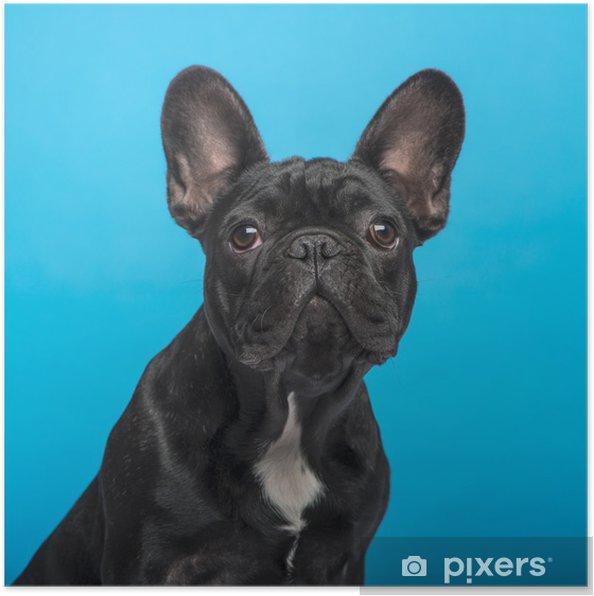 Plakat Buldog francuski puppy (3 miesiące), headshot, niebieskie tło - Buldogi francuskie