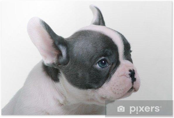 Plakat Buldog Francuski Puppy Portret Niebieskie Oczy Pixers