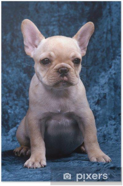 Plakat Buldog francuski puppy w studio - Buldogi francuskie