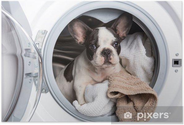 Plakat Buldog francuski puppy wewnątrz pralki - Buldogi francuskie