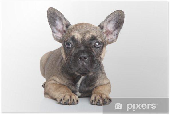 Plakat Buldog francuski puppy - Ssaki