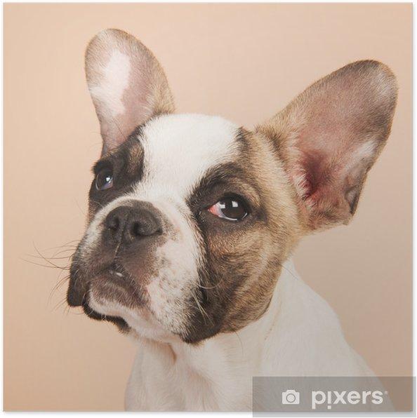 Plakat Buldog francuski puppy - Buldogi francuskie