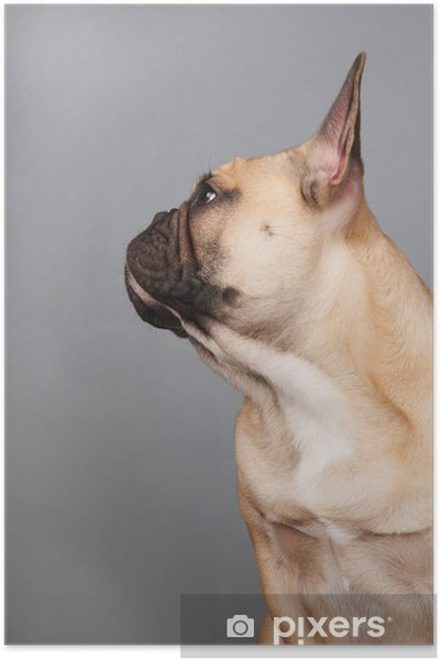 Plakat Buldog francuski - Buldogi francuskie