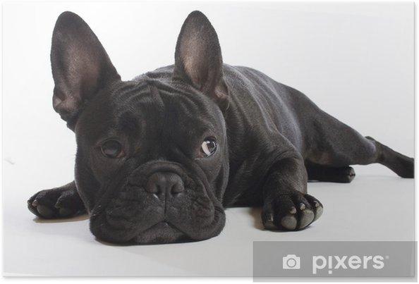 Plakat Bulldogge - Buldogi francuskie
