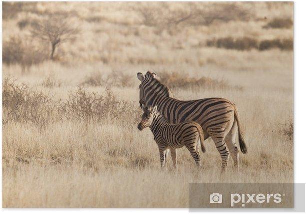 Plakat Burchell jest zebra (Equus Quagga) w Kalahari, Namibia - Tematy