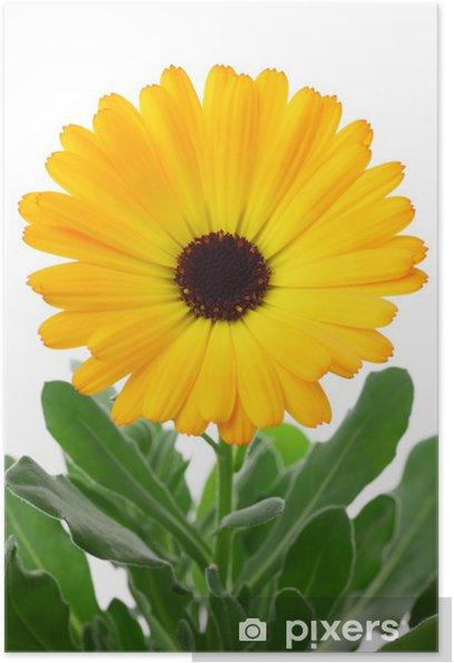 Plakat Calendula officinalis - Kwiaty