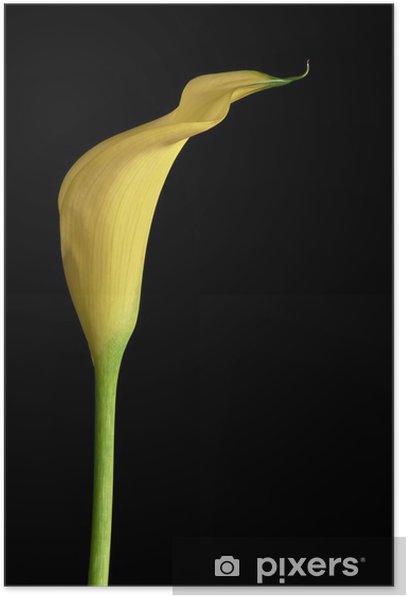 Plakat Calla kwiat - Kwiaty