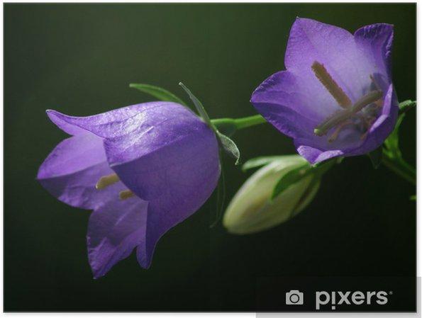 Plakat Campanula1 - Kwiaty