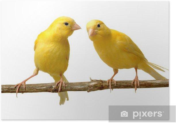 Plakat Canario escuchando otro - Ssaki