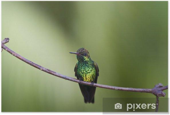 Plakát Canivet v Emerald (Chlorostilbon canivetii), samec hunningbird - Ptáci