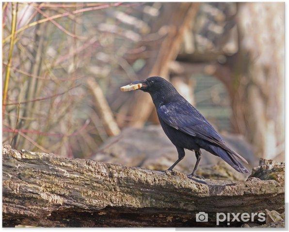 Plakat Carrion Crow - Ptaki