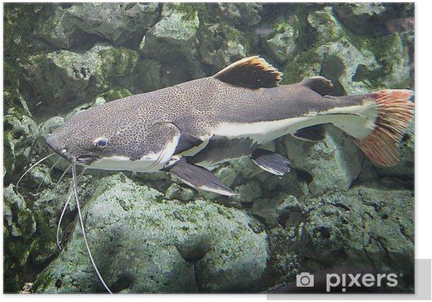 Plakat Catfish z czerwonymi płetwami 1 - Zwierzęta żyjące pod wodą