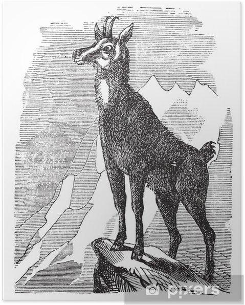 Plakat Chamois lub Antilope rupicapra, rocznik wina - Ptaki