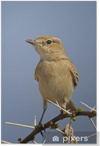 Plakát Chat černohlavý seděl na větvičce trn; Bradornis infuscatus - Ptáci