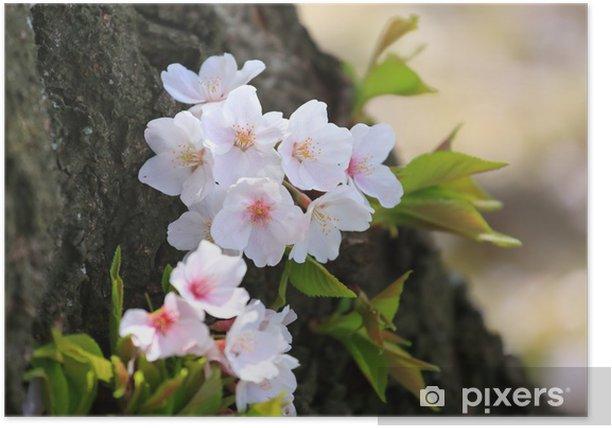 Plakat Cherry Blossoms - Kwiaty