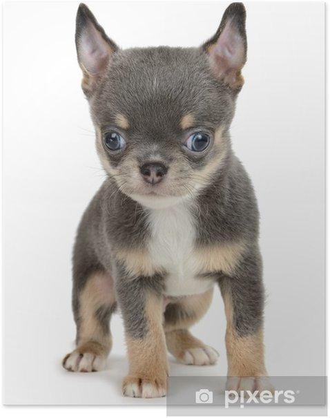 Plakat Chihuahua - Ssaki