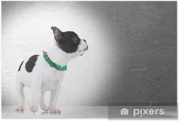 Plakat Chodzenie buldog francuski szczeniak patrząc - Buldogi francuskie