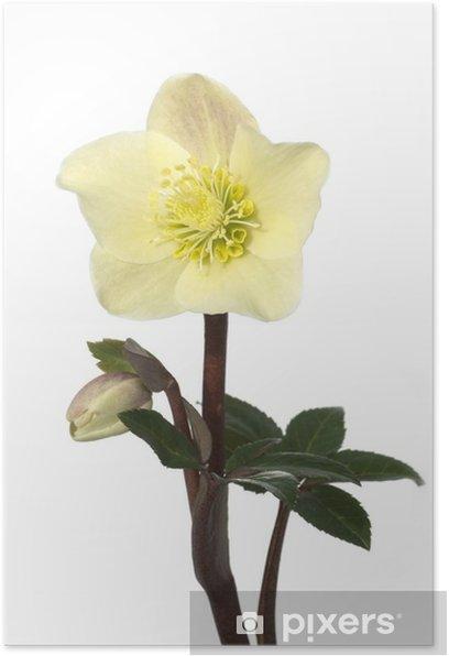 Plakat Christrose, Helleborus, Helleborus-x-ballardiae, cynamon, Śnieg, - Kwiaty