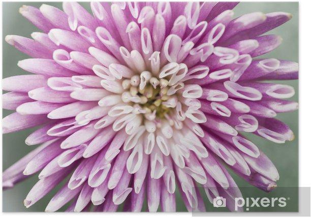 Plakat Chryzantema kwiat bliska - Kwiaty