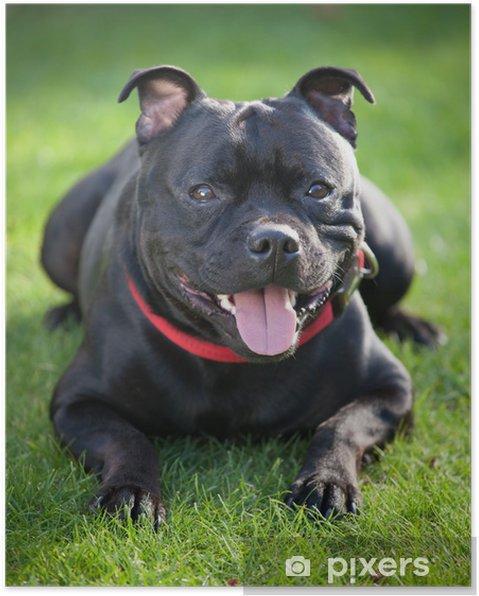 Plakat Close-up portret czarnym Staffordshire Bull Terrier - Ssaki