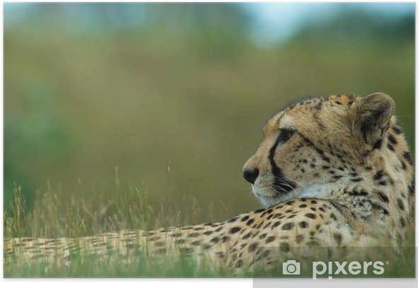 Plakat Close-up z pięknej Cheetah (A. jubatus) - Ssaki