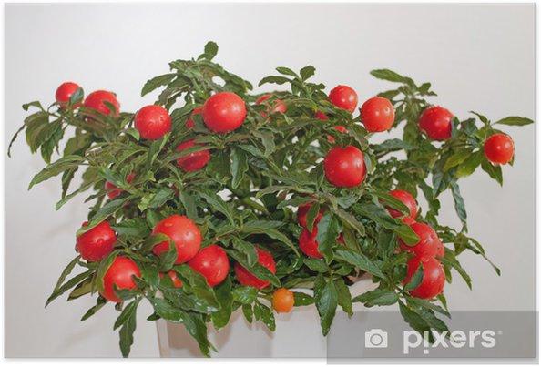 Plakát Coral Tree, Solanum pseudocapsicum, - Rostliny
