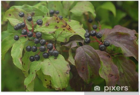 Plakat Cornus sanguinea / Cornouiller Sanguin / Dogberry - Dom i ogród
