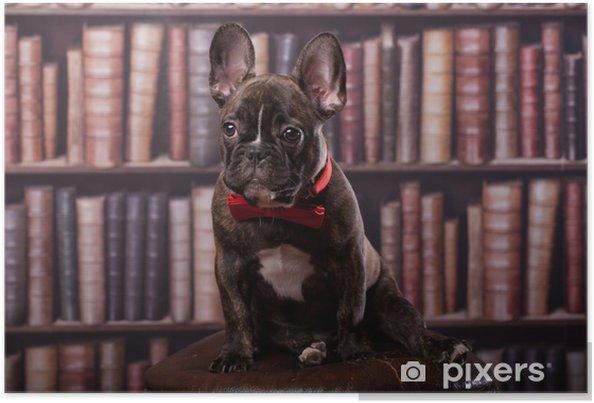 Plakat Cute puppy Buldog francuski z kokardą szyi siedzi w bibliotece - Buldogi francuskie