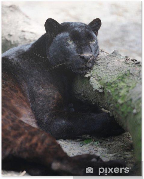 Plakat Czarna pantera - Ssaki