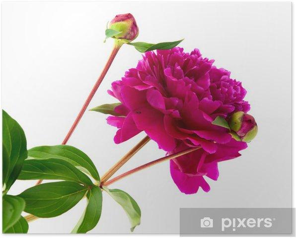 Plakat Czerwona piwonia - Kwiaty