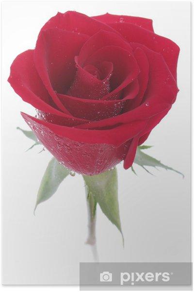 Plakat Czerwona Róża Z Rosą