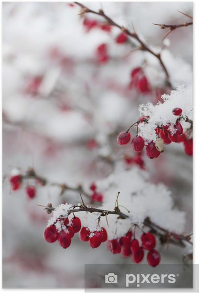 Plakat Czerwone jagody zimą pod śniegiem - Pory roku