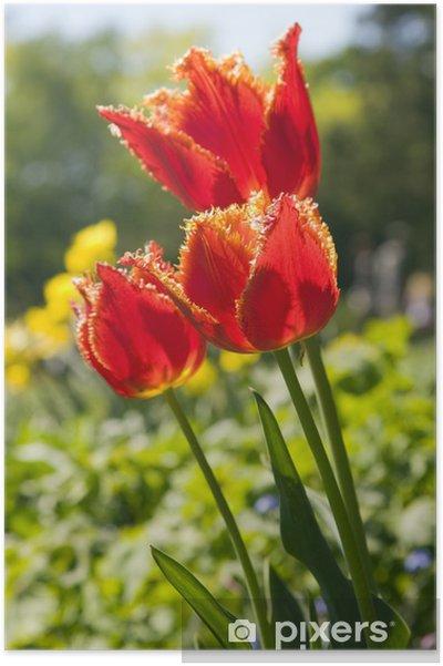 Plakat Czerwone kwiaty tulipan - Kwiaty