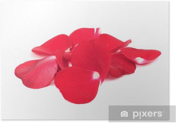 Plakat Czerwone płatki róża samodzielnie na białym tle - Kwiaty