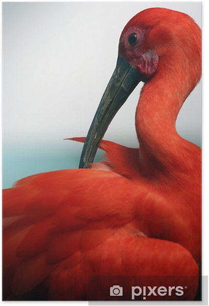 Plakat Czerwony ibis - Ptaki