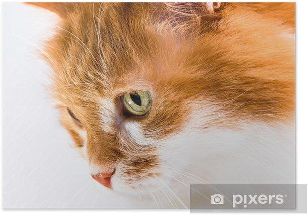 Plakat Czerwony kot na białym tle - Ssaki