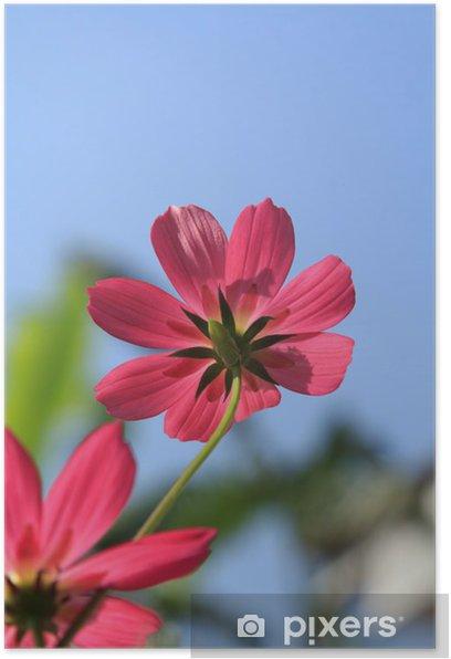 Plakat Czerwony kwiat kosmos - Kwiaty