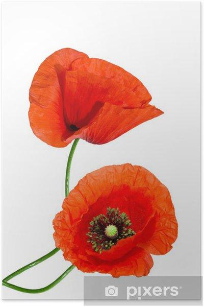Plakat Czerwony mak na białym tle - Kwiaty