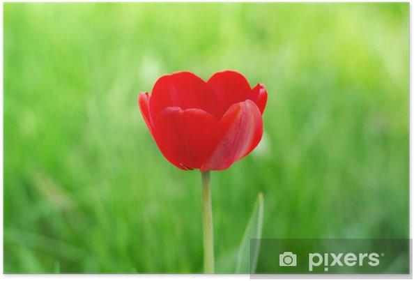Plakat Czerwony tulipan na trawie - Kwiaty