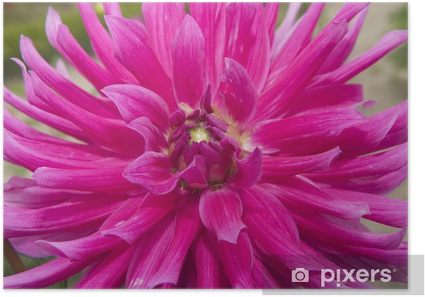 Plakat Dalia - Kwiaty