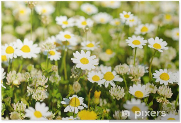 Plakát Divoké květy heřmánku - Hory